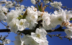 L'Amandier en fleur